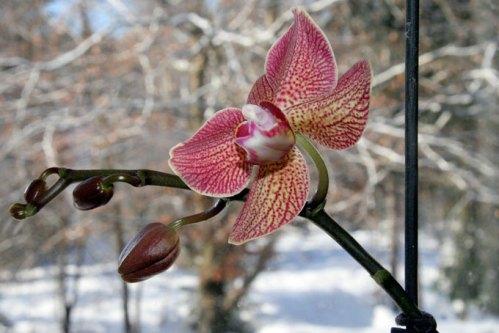 Min orkidé som äntligen blommar om i fönstret med vinterbakgrund